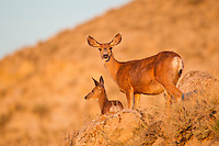 Mule deer (Odocoileus hemionus) doe and fawn in Wyoming