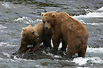 Alaska brown  bears at Brooks Falls