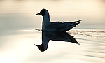 Black Headed Gull, Chroicocephalus ridibundus, Kuhmo, Finland, Lentiira, Vartius near Russian Border, swimming on lake, reflection