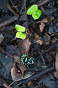 Green-and-Black Poison Dart Frog (Dendrobates aurantus) on rainforest floor. Lowland rainforest, Bosque de Cabo, Pacific slope, Costa Rica, Central America.