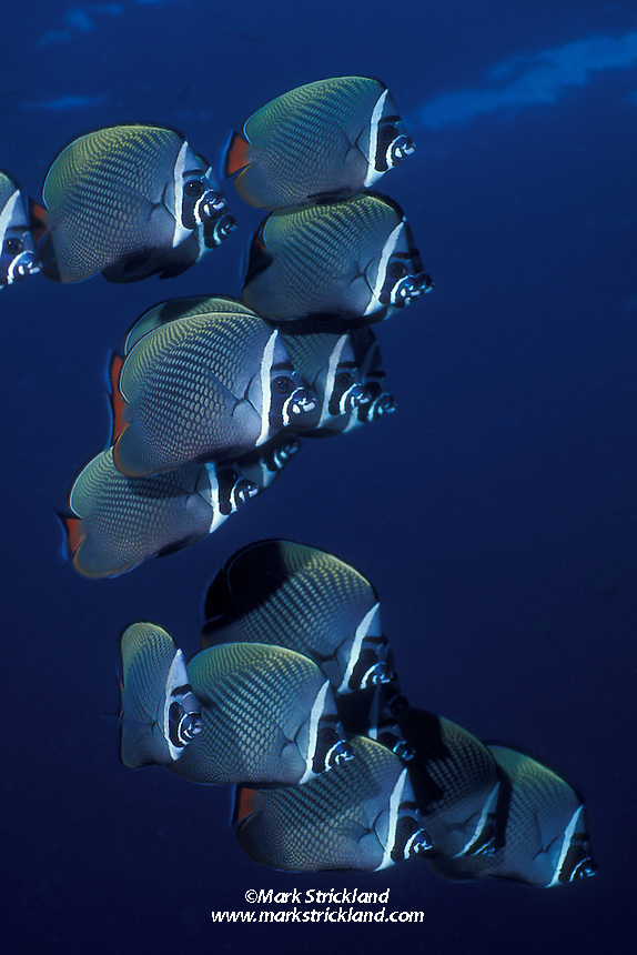 A school of White-Collar Butterflyfish, Chaetodon collare, hover in formation.  Andaman Sea