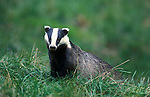 Badger, Meles meles, captive, foraging in grass, looking, showing striped black and white face.United Kingdom....
