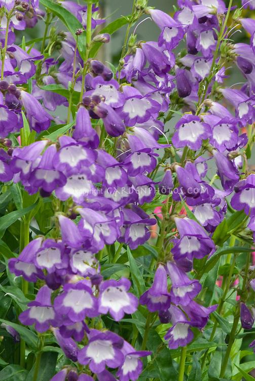 Penstemon Similar To Ghent Purple Plant Amp Flower Stock