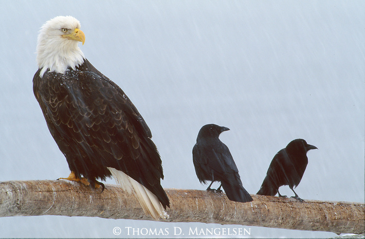 A bald eagle perched on a branch during a storm with two crows in Southeast Alaska.