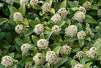 Skimmia japonica in flower in early spring, March April blooming bush