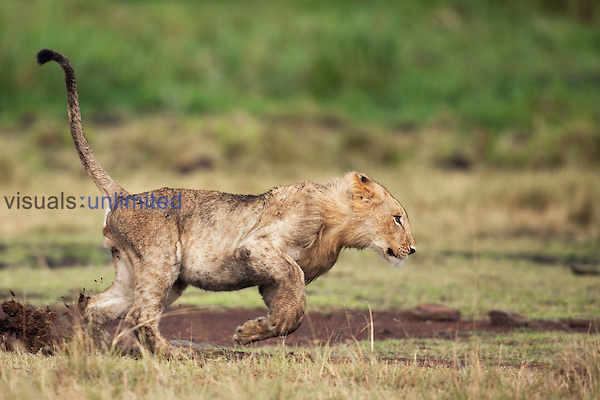 Lion sub-adult male running (Panthera leo), Maasai Mara National Reserve, Kenya.