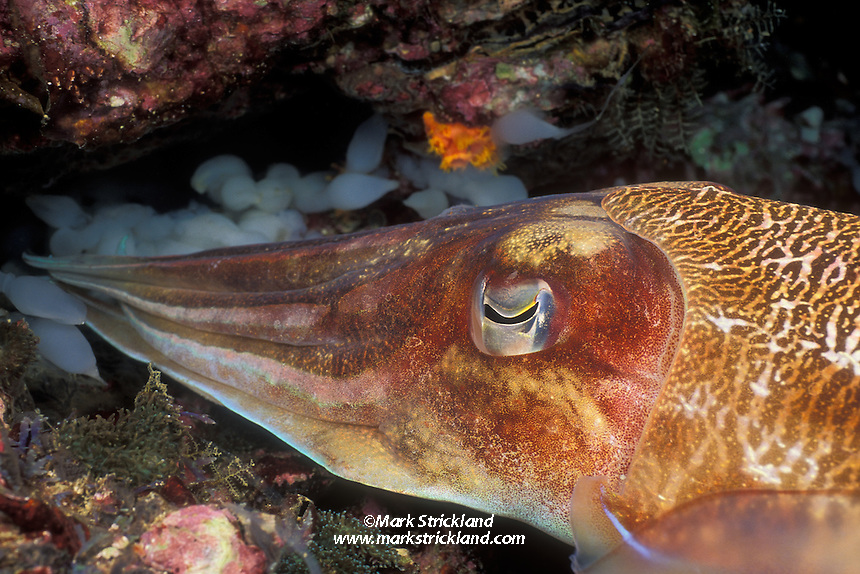 A female Pharaoh Cuttlefish, Sepia pharaonis, reaches into a crevice to deposit her eggs, one at a time. Mergui Archipelago, Myanmar, Andaman Sea