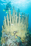 Gardens of the Queen, Cuba; a scuba diver hovers over a large colony of pillar coral in shallow water