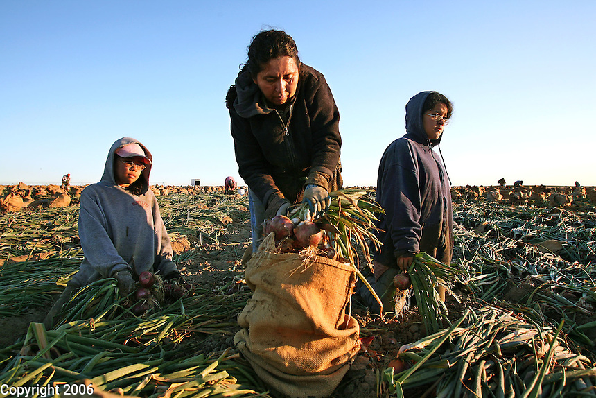 Maria Cervantes and her twin daughters gather harvested onions into burlap bags for Sun Haven Farms in Prosser, Washington. After the girls collect the onions into neat bundles, they hand them to their mother, who cuts the green tops with her knife and drops them into the bag. Workers in central Washington typically harvest onions in the early morning hours to avoid the blistering August heat. ..Harvesting bulbs is one of the few jobs that 12- and 13-year olds youths are permitted to do in Washington.Maria brought her daughters to the harvest this year so they would appreciate the difficulty of this work and continue to do well in school...Agricultural work has the third highest injury and illness rate in Washington.