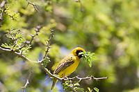 Masked Weaver, Serengeti National Park, Tanzania, East Africa