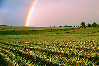 Pineapple Fields with Rainbow in Hailiimaile Plantation, Upcountry Maui