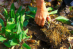 Harvesting wild leeks, Allium tricoccum