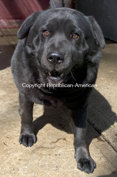 MIDDLEBURY, CT. 23 April 2008-042308SV05--Stella a spaded female Chow/Shar pei mix at the Middlebury dog pound.<br /> Steven Valenti Republican-American