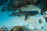 Whitetip reef shark at North Horn.Triaenodon obesus