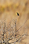 Allen's Hummingbird 3, Upper Newport Bay, CA