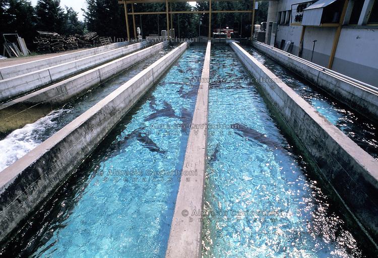 Allevamento storioni per produzione caviale almasio for Vasche per allevamento ittico