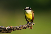 554810214 a wild great kiskadee pitangus sulphuratus perches on a dead mesquite tree limb on laguna seca ranch near edinburg texas united states
