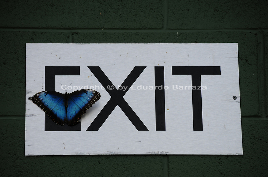 """Scottsdale, Arizona. A Blue Morpho Butterfly at an Arizona sanctuary rests on an """"Exit"""" sign. The United States Fish and Wildlife Service is contributing $20 million to help save the disappearing Monarch butterflies. The insect may be on its way to the endangered species list. In Arizona a sanctuary takes care of thousands of butterflies. Photo by Eduardo Barraza © 2015"""