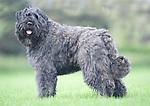 Bouvier des Flandres Dog, standing outside,