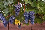 Cabernet vineyard