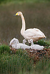 Whooper swan with cygnets on nest, Iceland