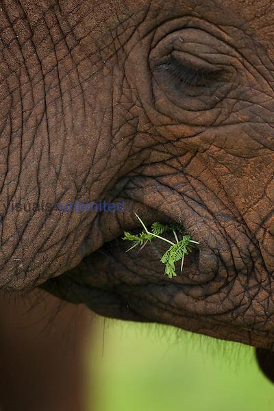 Close up of an African Elephant eating (Loxodonta africana), Samburu, Kenya