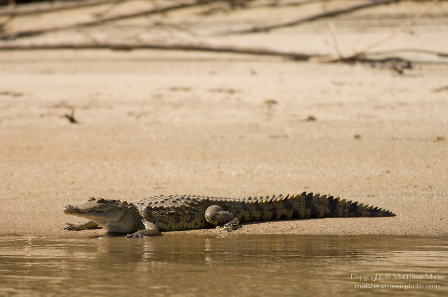 Monkey River, Belize, Central America; an American Crocodile (Crocodylus acutus) lies in the sand at the edge of the Monkey River , Copyright © Matthew Meier, matthewmeierphoto.com All Rights Reserved