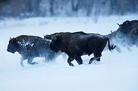 Wisent (Bison bonasus), Bieszczady National Park, Poland