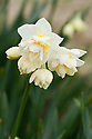 Daffodil (Narcissus 'Erlicheer'), a Division 4 Double variety.