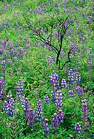 1523300003 wild foothill lupines lupinus succuelntus bloom profusely along a hillside burned by a wildflire the previous summer in the santa mountains national recreation area in los angeles county california
