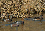 A group of wigeon feeding in a small creek.