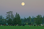"Cows graze peacefully under a rising ""blue moon"" in Agnew, WA. The next blue moon won't be until 2015. http://www.space.com/22439-blue-moon-5-amazing-facts.html"
