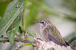 La Jolla, California;  one of the two, three week old Anna's Hummingbird (Calypte anna) chicks, sitting in it's nest, waiting to be fed, it's sibling left the nest earlier in the day
