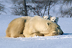 Polar bear and her cubs