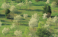 A hillside of Flowering Dogwood Trees (Cornus florida) with Conifers, Paintsville Lake State Park, Kentucky, USA.