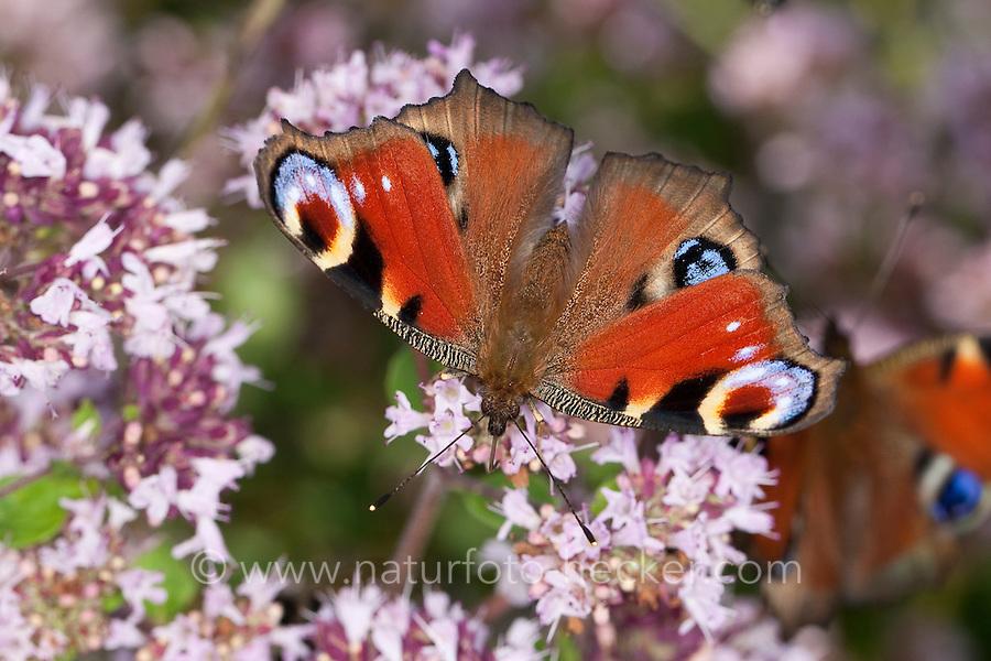 Tagpfauenauge, Blütenbesuch, Nektarsuche auf Wildem Dost, Oreganum, Origanum, Tag-Pfauenauge, Inachis io, Nymphalis io, peacock moth, peacock