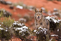 Coyote standing at the edge of a hill in the red rocks of Utah - CA