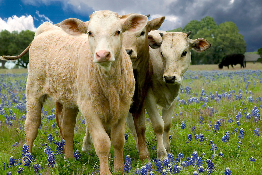 3 young curious calfs in a field of Blue bonnets at a farm near Temple, Texas