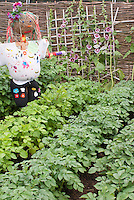 Scarecrow + potatoes and hollyhocks growing in vegetable garden with trellis, fence, plants