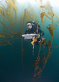 Research diver and marine biologist performing a Rockfish survey off Asilomar, Kelp Forest (Macrocystis pyrifera and Nereocystis), Monterey, California, Pacific Ocean, USA