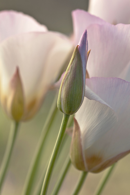 A single bud among a bunch of sego lilies, also referred to as mariposa lilies (Calochortus nuttallii) blooms in the Tonto National Forest near Rye, Arizona, USA