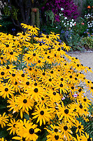 Black-eye Susan, Yellow flower perennial, Rudbeckia 'Goldstrum' in California garden; Schneck Garden