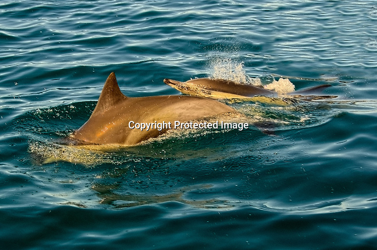 Stock photo of mother dolphin and her calf