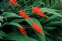 Crocosmia Lucifer in red flowers