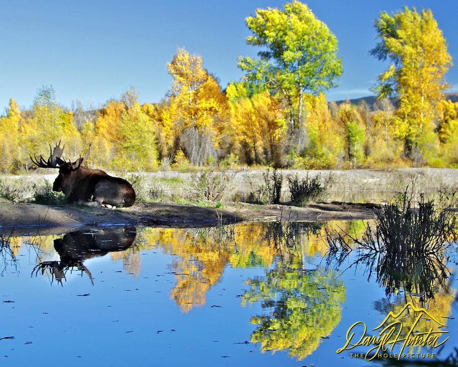Bull Moose, fall colors, River, reflection, Grand Teton National Park