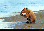 Alaskan Coastal Brown Bear Cub Playing with a Stick, Silver Salmon Creek, Lake Clark National Park, Alaska