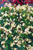 Begonia 'Sherbet Bon Bon doubled flowered annual plant with yellow and pink blooms