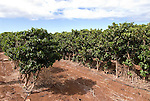 Hawaii: Molokai, coffee plants experienced during Coffees of Hawaii tour..Photo himolo242-72460..Photo copyright Lee Foster, www.fostertravel.com, lee@fostertravel.com, 510-549-2202