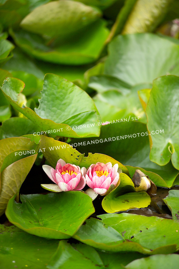 Two bright pink water lily flowers sit side by side atop brilliant green lily pads and dark water in this pond.