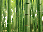 Closeup of green stems of bamboo forest, abstract background